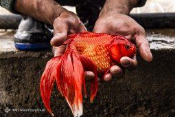 پرورش «ماهی قرمز»