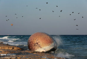 پیدا شدن لاشه نهنگ ۵تنی در سواحل کیش